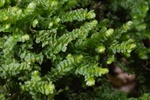 Leafy liverwort (Porella platyphylla)